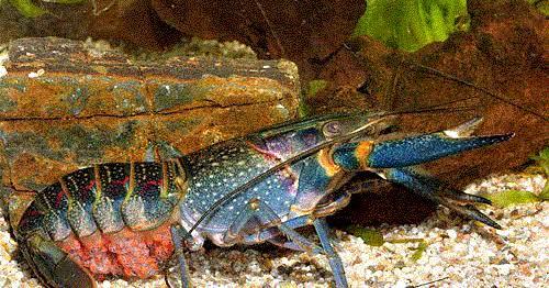 5 Penyebab & Solusi Lobster Air Tawar 1 Inchi Gagal Molting
